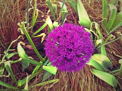 Day 237 – Allium