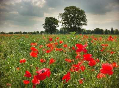 Day 303 – Poppy field