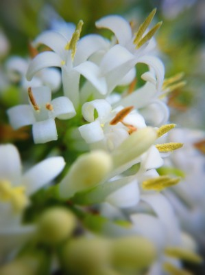Day 311 – Flowering Privet