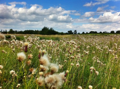 Day – 346 Fluffy thistles