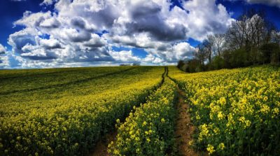 Day 201.2 – Rape fields