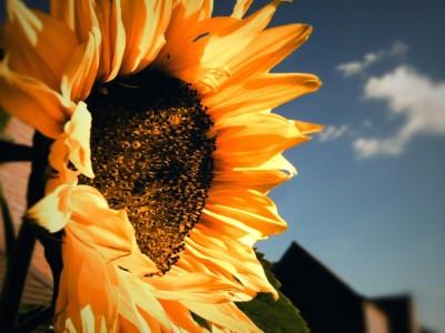 Day 45 – Sunflower's farewell