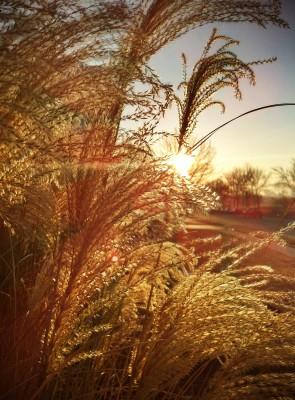 Day 195 – Schaumberg grasses