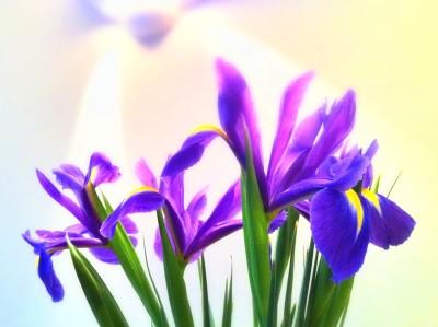 Day 206 – Spring Irises