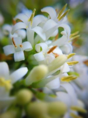 Day 311 – Flowering Privet