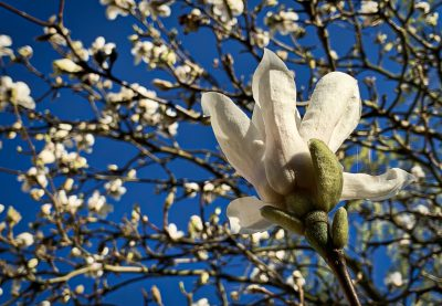 Day 83.3 – Magnolia
