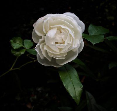 Day 283.3 – Last Rose